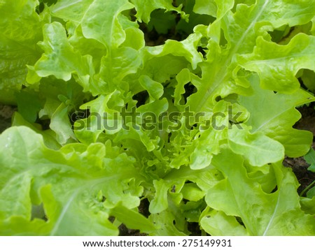 Green salad growing in the garden  outdoors - stock photo