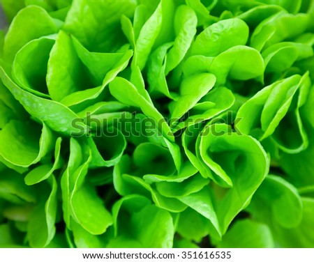 Green salad leaves close up