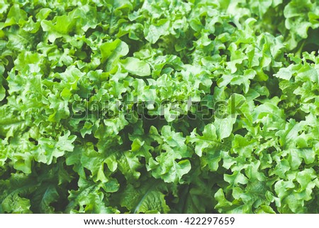 Green salad leaves. Concept of healthy lifestyle and dieting - stock photo