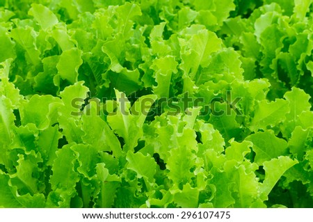 Green salad Lettuce texture background - stock photo