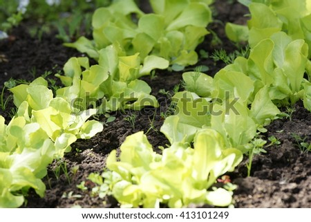 Green salad on a vegetable bed in a summer home garden in a countryside - stock photo