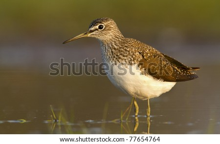 Green sandpiper in the water