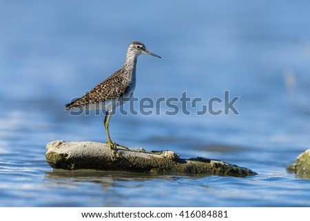 Green sandpiper on a rock on a pond