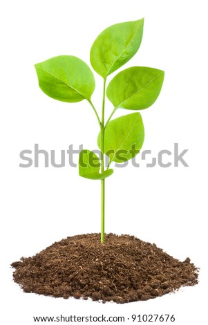 Green sapling. Isolated on a white. - stock photo