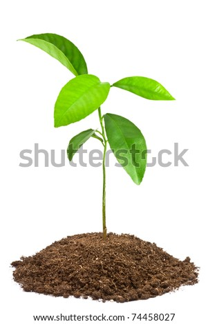 Green sapling. Isolated on white. - stock photo