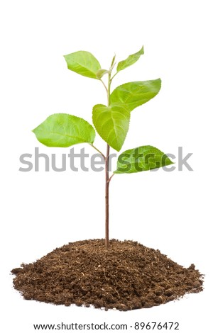 Green sapling of apple tree. Isolated on a white. - stock photo