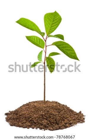 Green sapling of bird-cherry tree. Isolated on white. - stock photo