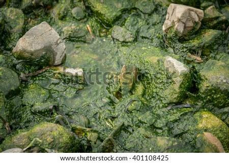 Green sea algae at rocks. Selective focus. - stock photo