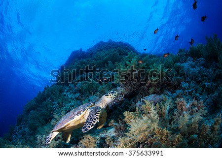 Green sea turle in a reef, Red Sea, Egypt - stock photo