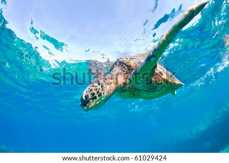 green sea turtle - stock photo