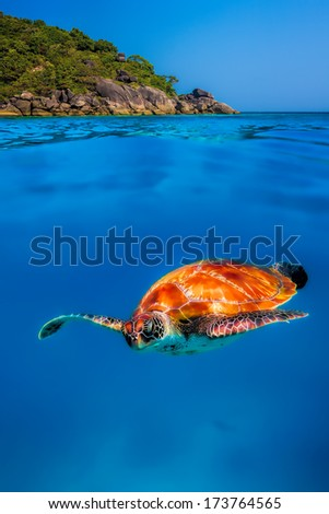 Green Sea Turtle above and below at Similan Islands - stock photo