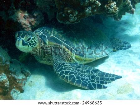 Green Sea Turtle, Ahihi Kinau, The Dumps, Maui - stock photo