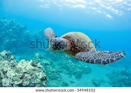 green sea turtle and coral reef maui hawaii - stock photo