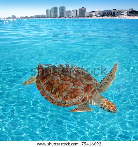Green sea Turtle Caribbean sea surface Cancun Mexico Chelonia mydas [Photo Illustration] - stock photo