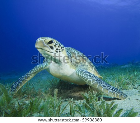 Green Sea Turtle (Chelonia mydas) - stock photo