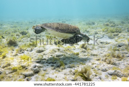 Green Sea Turtle (Chelonia mydas) between seagrass