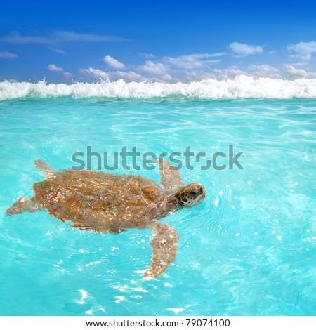 Green sea Turtle Chelonia mydas  Caribbean sea Cheloniidae water surface [Photo Illustration] - stock photo