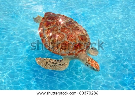 Green sea Turtle Chelonia mydas  Cheloniidae in  Caribbean sea surface [Photo Illustration] - stock photo