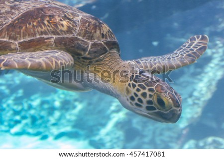Green Sea Turtle (Chelonia mydas) in aquarium