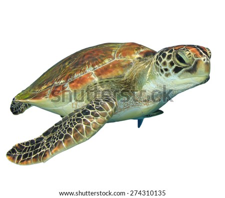 Green Sea Turtle (Chelonia mydas) isolated on white background - stock photo