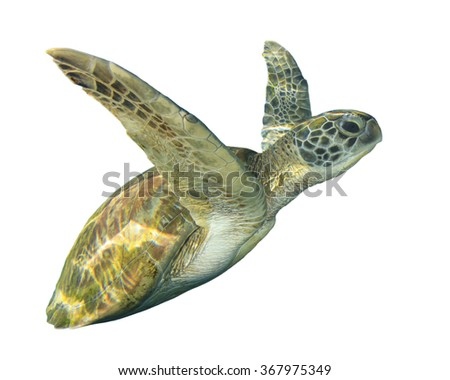 Green Sea Turtle (Chelonia mydas) isolated white background cut out - stock photo