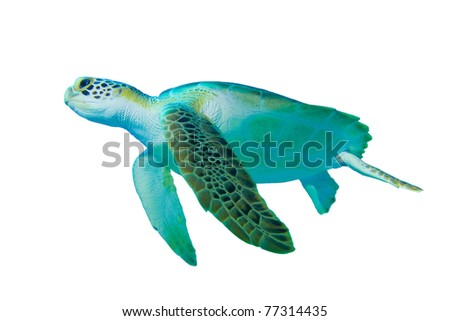 Green Sea Turtle (Chelonia mydas) on white background - stock photo