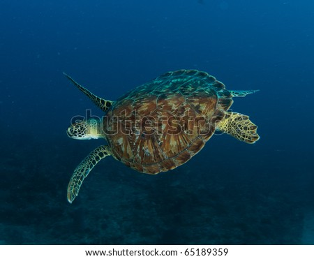 Green Sea Turtle-Chelonia mydas, picture taken in south east Florida - stock photo