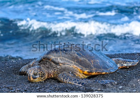 "Green Sea Turtle ""Chelonia mydas"" resting on back sand beach on the island of Hawai'i - stock photo"
