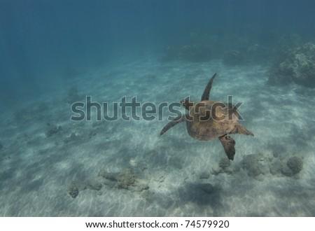 Green Sea Turtle (Chelonia mydas) swims through the ocean water. - stock photo