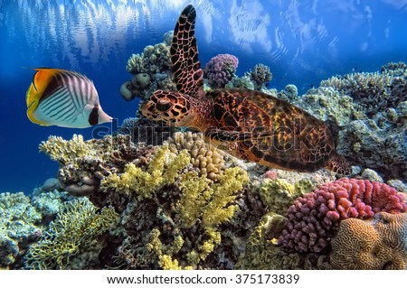 Green Sea Turtle Chelonia swiming over Coral Reef, Red Sea, Egypt - stock photo