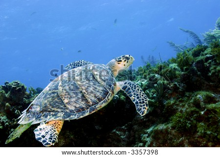 Green Sea Turtle close to coral cave