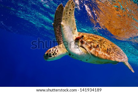 Green Sea Turtle descending into the blue after taking a breath - stock photo