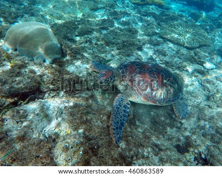 Green sea turtle eating in coral reef on sea bottom. Lovely sea turtle closeup. Green turtle swimming in the sea. Exotic animal underwater. Blue lagoon wild life. Philippines snorkeling spot - Apo