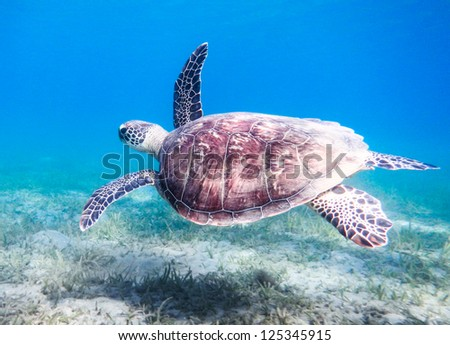Green sea turtle. Egypt. Red Sea