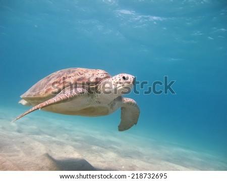 Green sea turtle. Egypt. Red Sea - stock photo