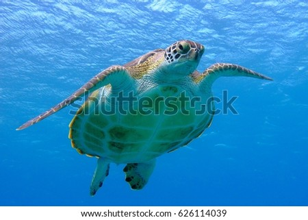 Green sea turtle face to face. Visible belly and shell, eyes, fins, claws, water surface. Turtle swimming to the photographer, blue ocean background.