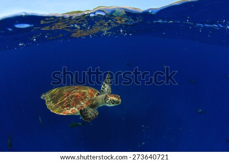 Green Sea Turtle: half and half split shot of underwater turtle and blue sky island above - stock photo