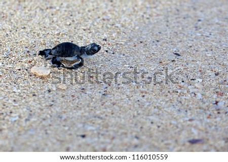 Green Sea Turtle Hatchling making its first steps from the beach to the sea - stock photo