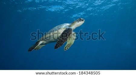 Green Sea Turtle in Beautiful Blue Water - stock photo