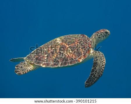 Green sea turtle in blue sea water, tropical tortoise swimming underwater - stock photo