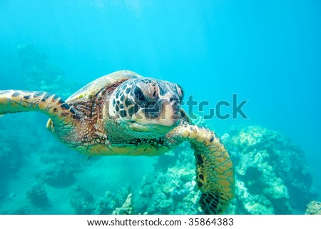 green sea turtle in clear waters of hawaii - stock photo