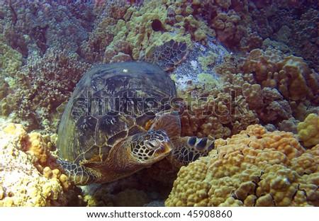 Green Sea Turtle in Hawaii - stock photo