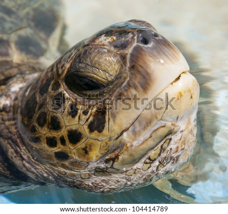 Green Sea Turtle in Hawaii - Close Up - stock photo