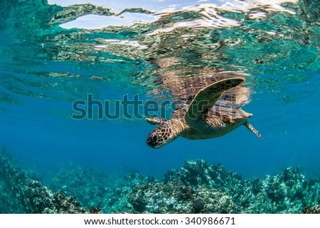 Green Sea Turtle in Maui, Hawaii - stock photo