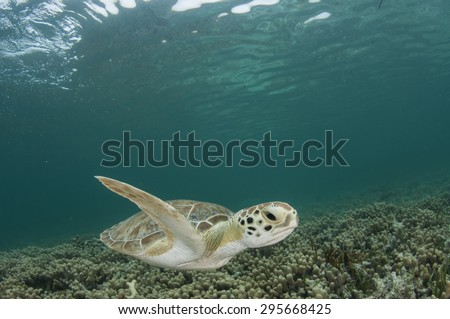 Green Sea Turtle in Shallow Water of the Bahamas - stock photo