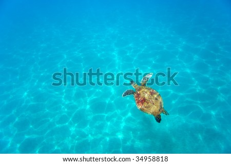 green sea turtle in sparkling aqua turquoise waters background