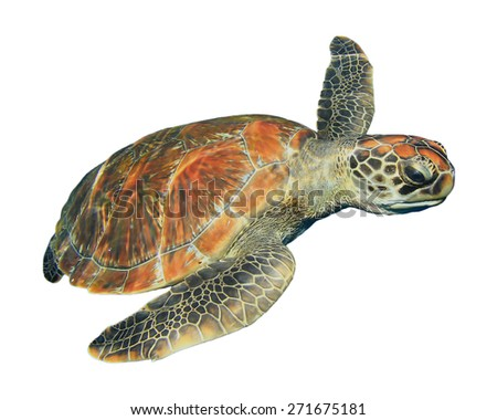 Green Sea Turtle isolated on white background - stock photo