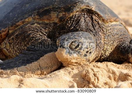 Green Sea Turtle, Kauai, Hawaii - stock photo