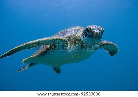 Green Sea Turtle Ningaloo Reef (Chelonia mydas) - stock photo