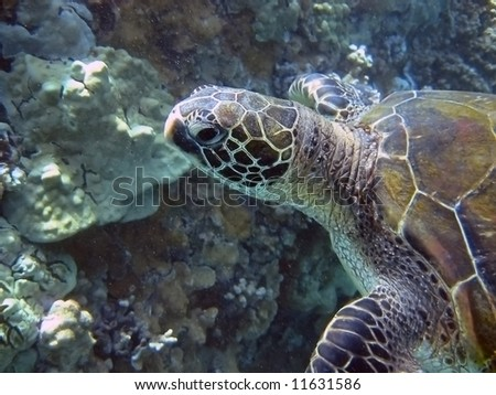 green sea turtle on a coral reef - stock photo